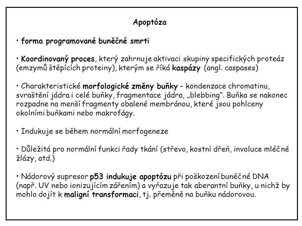 Apoptóza forma programované buněčné smrti Koordinovaný proces, který zahrnuje aktivaci skupiny specifických proteáz (emzymů štěpících proteiny), který
