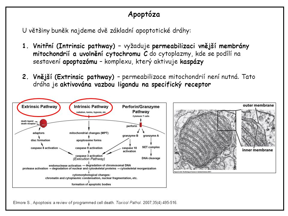 Apoptóza Elmore S., Apoptosis: a review of programmed cell death.