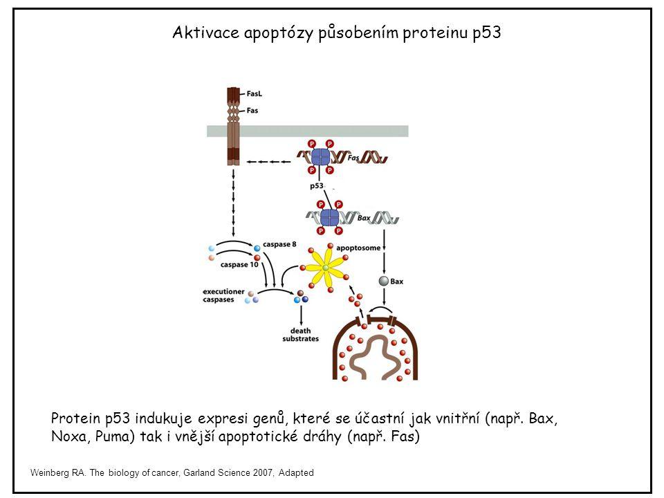 Protein p53 indukuje expresi genů, které se účastní jak vnitřní (např. Bax, Noxa, Puma) tak i vnější apoptotické dráhy (např. Fas) Weinberg RA. The bi
