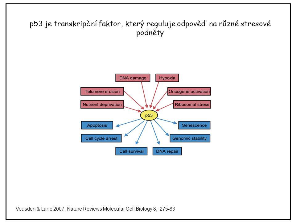 p53 je transkripční faktor, který reguluje odpověď na různé stresové podněty Vousden & Lane 2007, Nature Reviews Molecular Cell Biology 8, 275-83