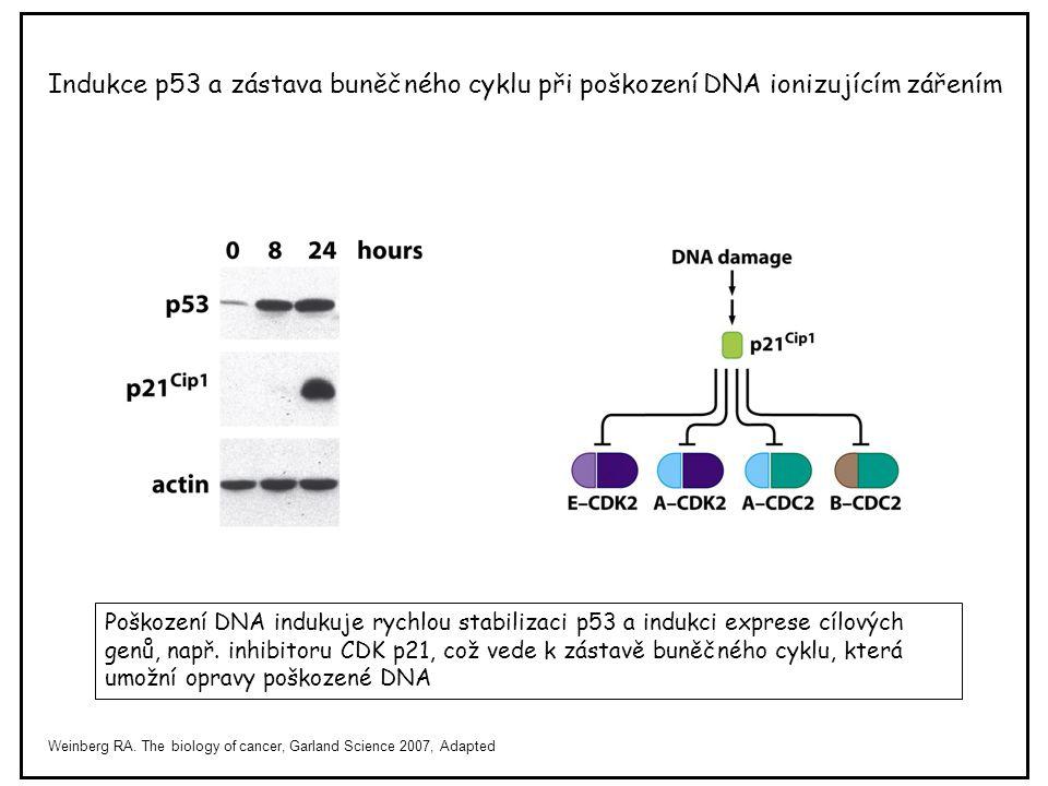 Indukce p53 a zástava buněčného cyklu při poškození DNA ionizujícím zářením Poškození DNA indukuje rychlou stabilizaci p53 a indukci exprese cílových
