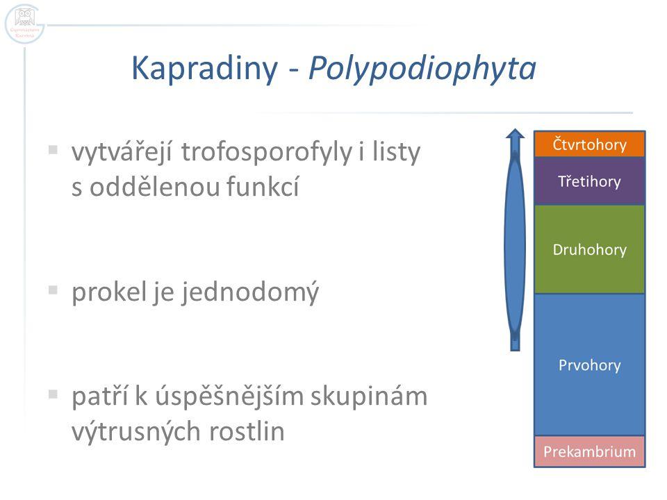Kapradiny - Polypodiophyta  vytvářejí trofosporofyly i listy s oddělenou funkcí  prokel je jednodomý  patří k úspěšnějším skupinám výtrusných rostl