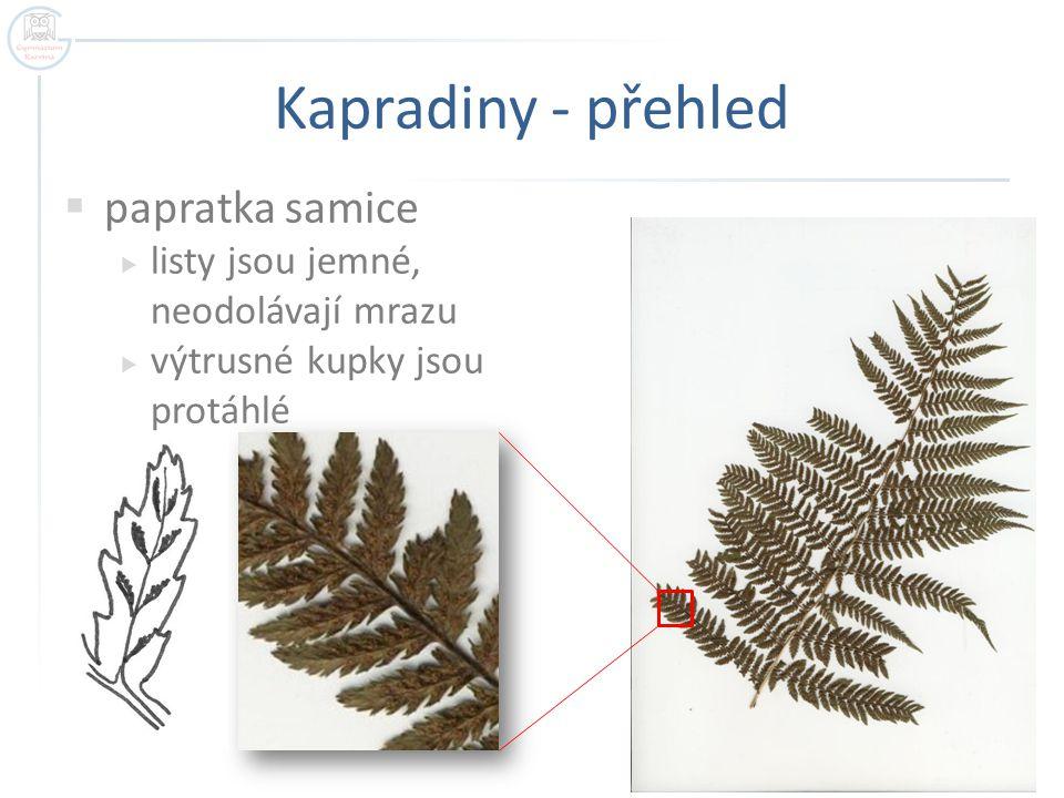 Kapradiny - přehled  papratka samice  listy jsou jemné, neodolávají mrazu  výtrusné kupky jsou protáhlé