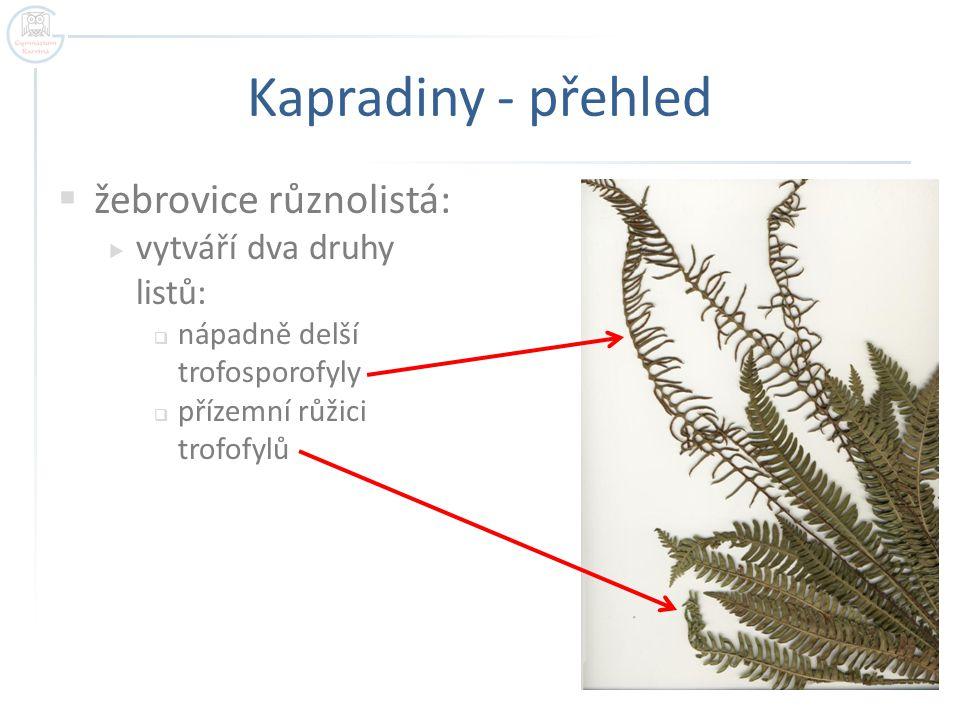 Kapradiny - přehled  žebrovice různolistá:  vytváří dva druhy listů:  nápadně delší trofosporofyly  přízemní růžici trofofylů