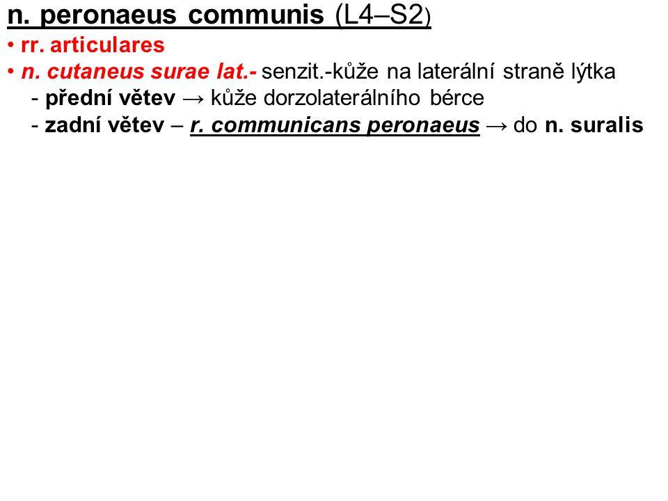 n. peronaeus communis (L4–S2 ) rr. articulares n. cutaneus surae lat.- senzit.-kůže na laterální straně lýtka - přední větev → kůže dorzolaterálního b
