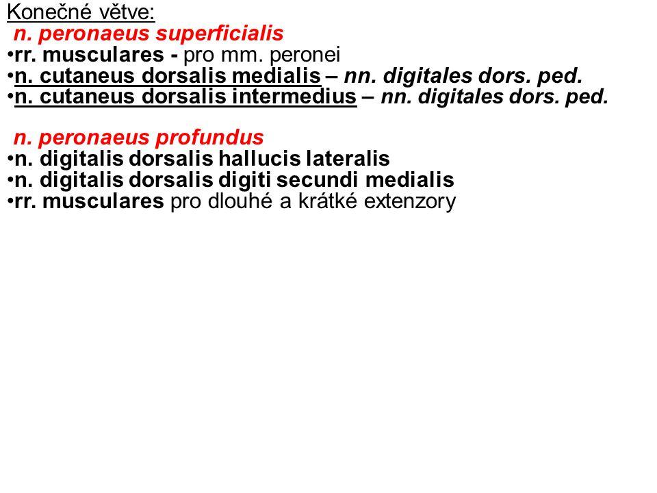Konečné větve: n. peronaeus superficialis rr. musculares - pro mm. peronei n. cutaneus dorsalis medialis – nn. digitales dors. ped. n. cutaneus dorsal