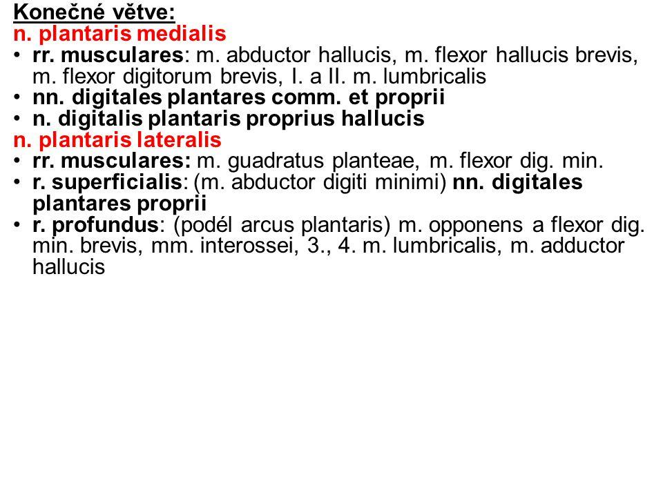Konečné větve: n.plantaris medialis rr. musculares: m.