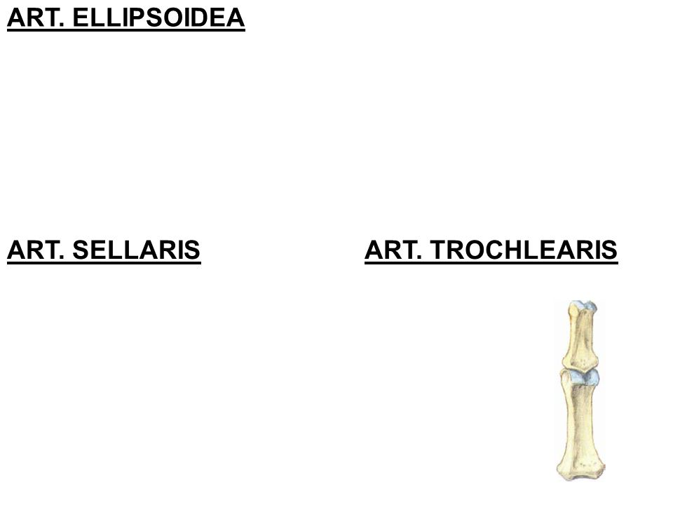 ART. ELLIPSOIDEA ART. SELLARISART. TROCHLEARIS