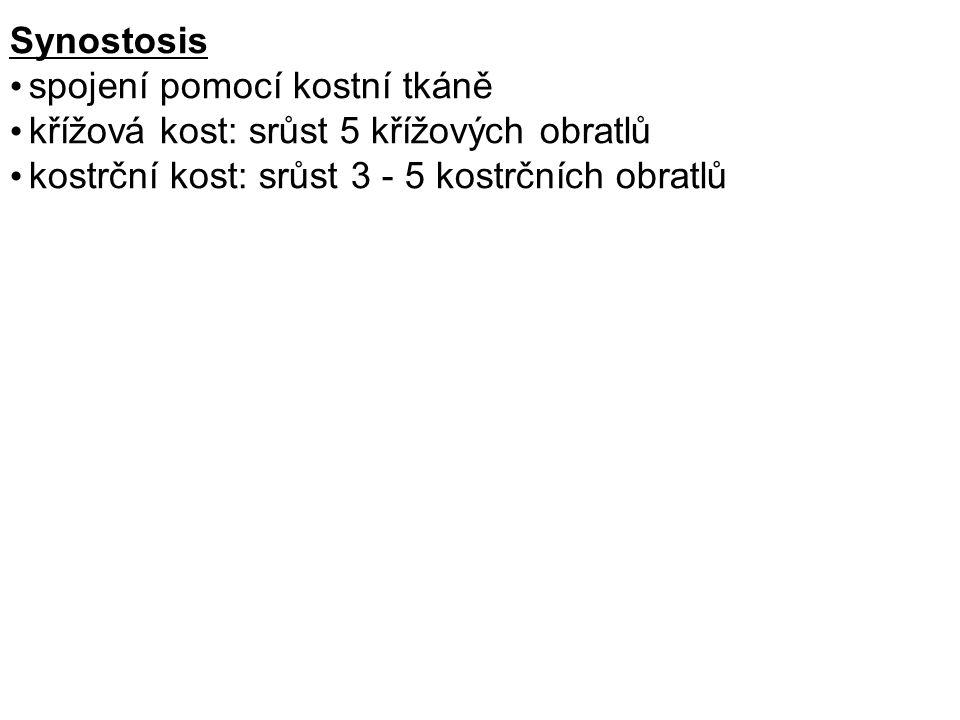 Synostosis spojení pomocí kostní tkáně křížová kost: srůst 5 křížových obratlů kostrční kost: srůst 3 - 5 kostrčních obratlů