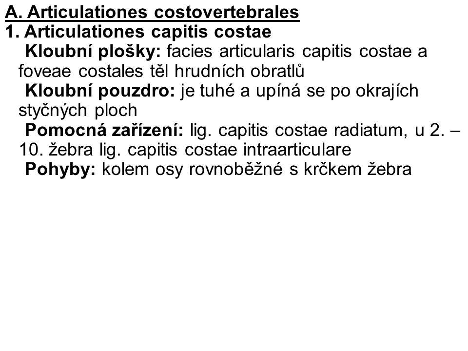 A. Articulationes costovertebrales 1. Articulationes capitis costae Kloubní plošky: facies articularis capitis costae a foveae costales těl hrudních o