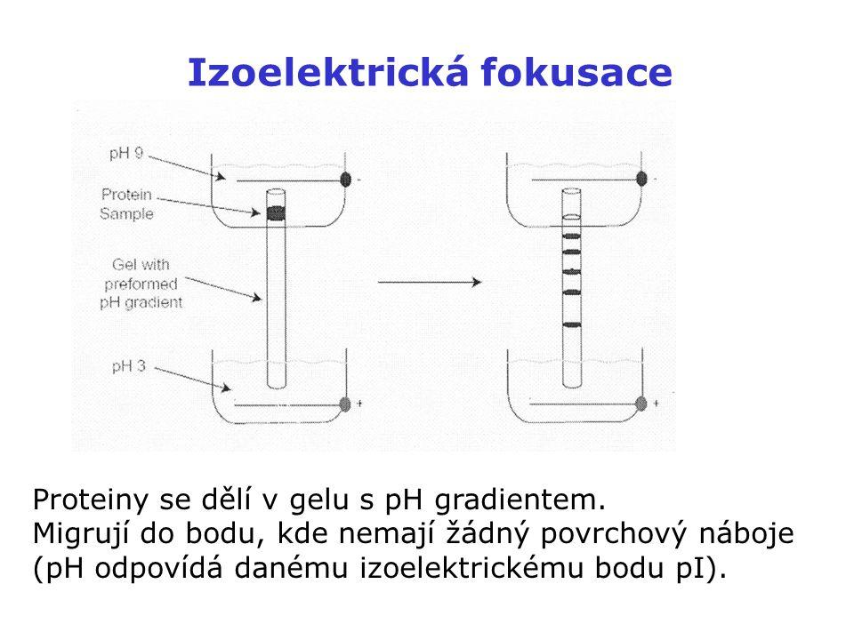 Izoelektrická fokusace Proteiny se dělí v gelu s pH gradientem. Migrují do bodu, kde nemají žádný povrchový náboje (pH odpovídá danému izoelektrickému
