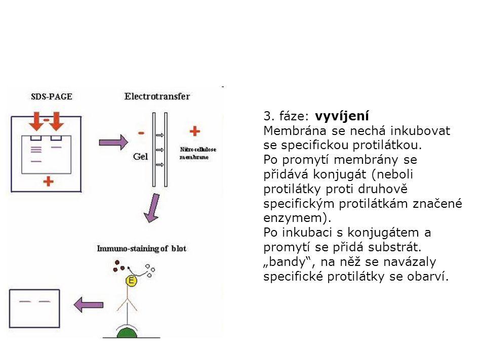 3. fáze: vyvíjení Membrána se nechá inkubovat se specifickou protilátkou. Po promytí membrány se přidává konjugát (neboli protilátky proti druhově spe