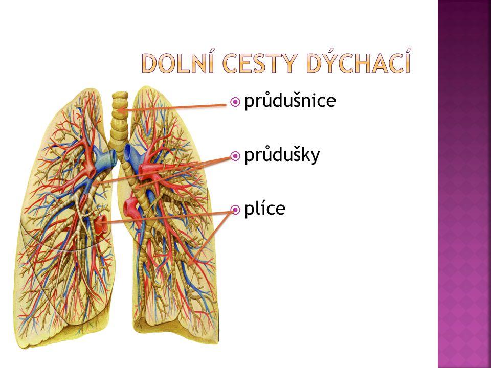  průdušnice  průdušky  plíce