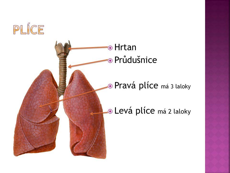  Hrtan  Průdušnice  Pravá plíce má 3 laloky  Levá plíce má 2 laloky