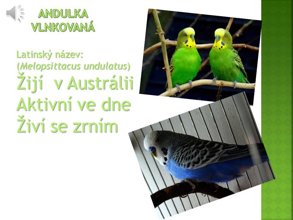 Latinský název: (Melopsittacus undulatus) Žijí v Austrálii Aktivní ve dne Živí se zrním