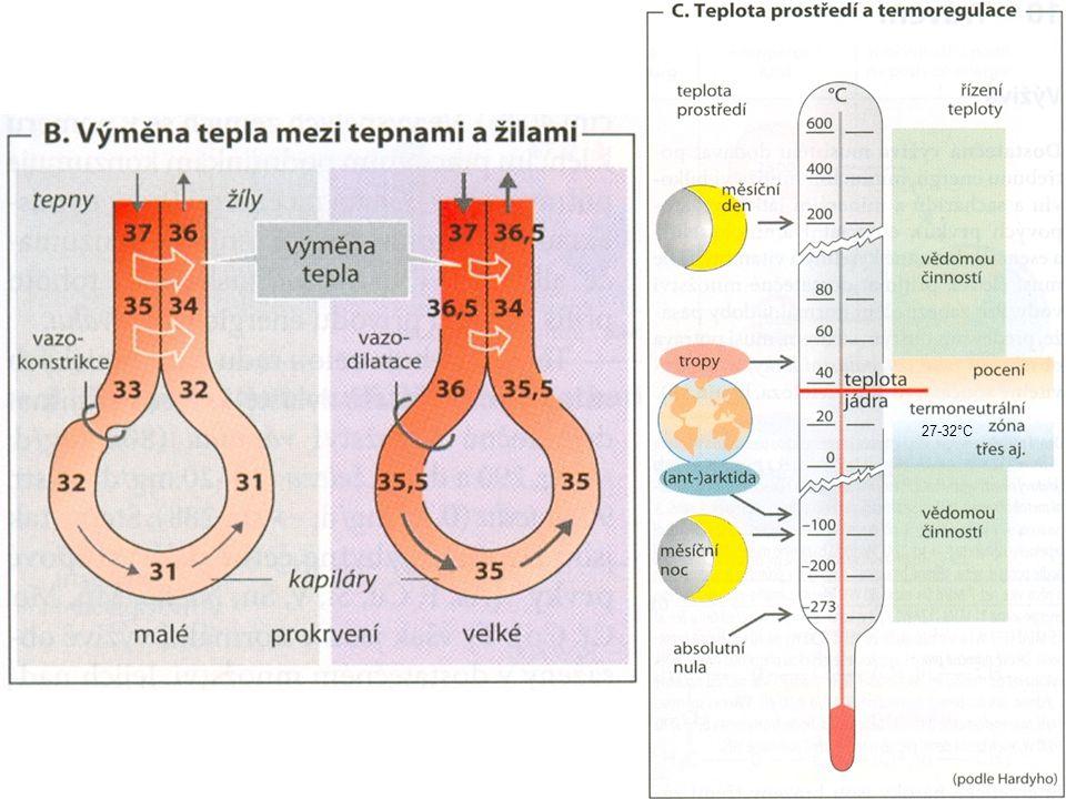 vasokonstrikce cév sníží výdeje tepla z jádra do kůže, a tím také ztráty tepla kůží piloerekce (husí kůže: u člověka téměř bez významu), mezi chlupy se udržuje vrstva vzduchu, která působí jako izolace zvýšení produkce tepla: - sáláním - chemickou termogenezí - zvýšený výdej tyroxinu stimuluje buněčný metabolismus a tak vzniká větší množství odpadního tepla (adaptační mechanismus) MECHANISMY ZVYŠOVÁNÍ TĚLESNÉ TEPLOTY