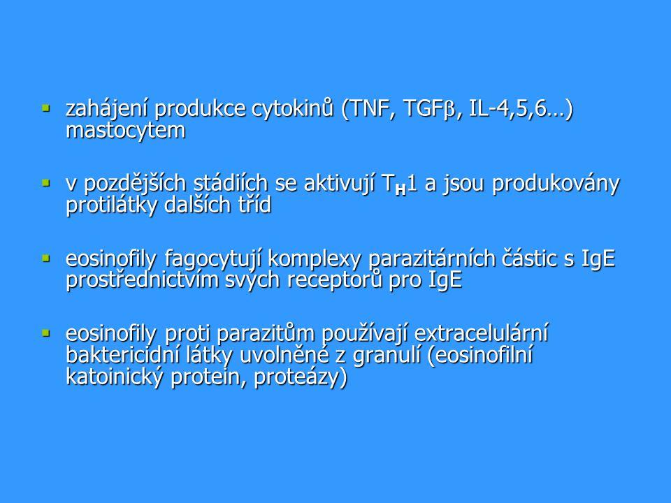  zahájení produkce cytokinů (TNF, TGF , IL-4,5,6…) mastocytem  v pozdějších stádiích se aktivují T H 1 a jsou produkovány protilátky dalších tříd  eosinofily fagocytují komplexy parazitárních částic s IgE prostřednictvím svých receptorů pro IgE  eosinofily proti parazitům používají extracelulární baktericidní látky uvolněné z granulí (eosinofilní katoinický protein, proteázy)