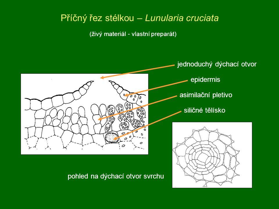 Příčný řez stélkou – Lunularia cruciata jednoduchý dýchací otvor epidermis asimilační pletivo siličné tělísko pohled na dýchací otvor svrchu (živý mat