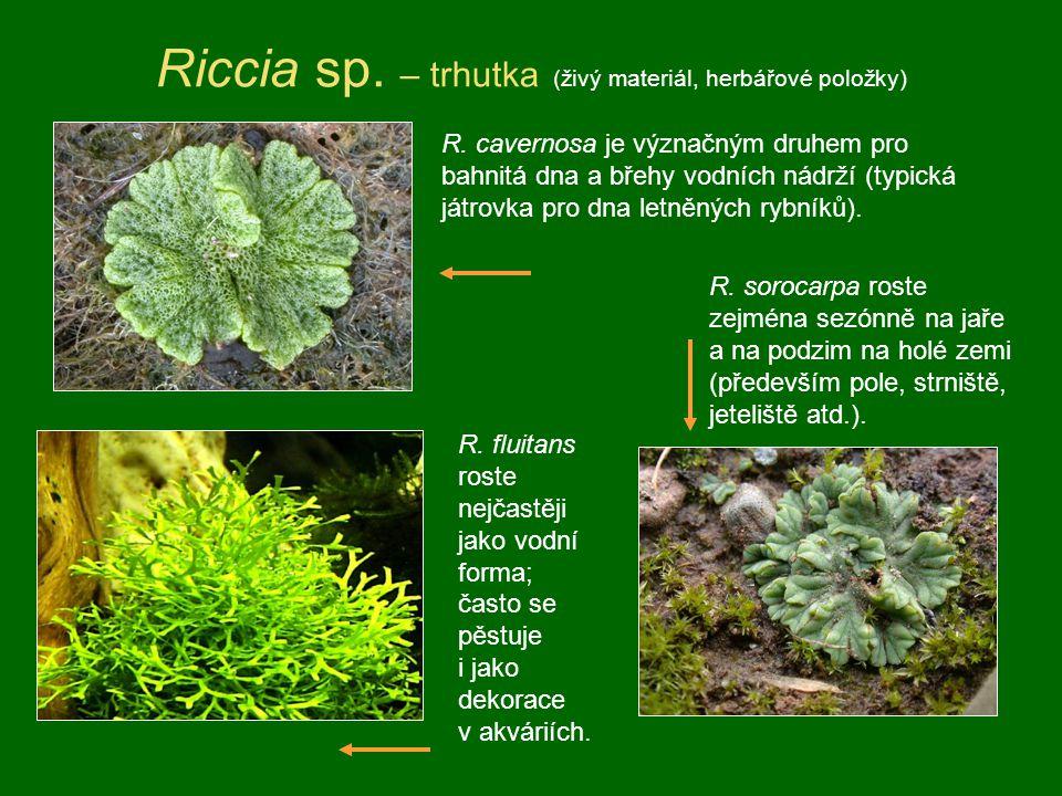Riccia sp. – trhutka (živý materiál, herbářové položky) R. fluitans roste nejčastěji jako vodní forma; často se pěstuje i jako dekorace v akváriích. R