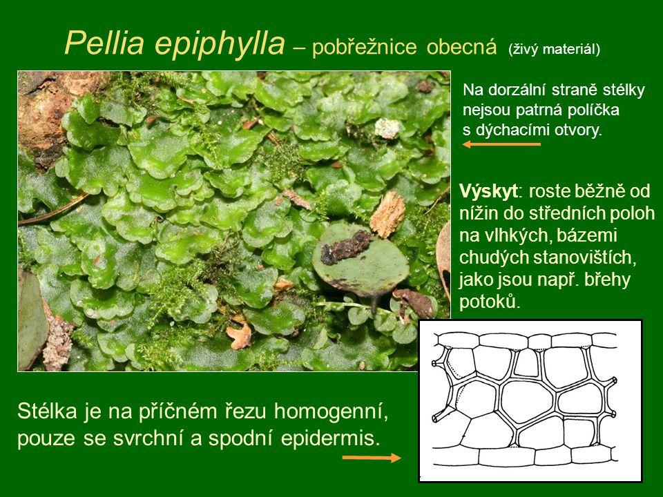 Pellia epiphylla – pobřežnice obecná (živý materiál) Stélka je na příčném řezu homogenní, pouze se svrchní a spodní epidermis. Výskyt: roste běžně od