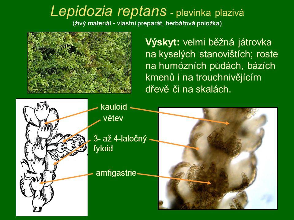 Lepidozia reptans - plevinka plazivá (živý materiál - vlastní preparát, herbářová položka) Výskyt: velmi běžná játrovka na kyselých stanovištích; rost