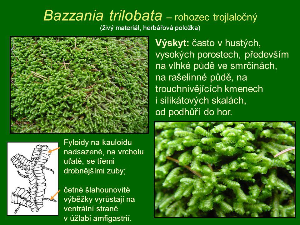 Bazzania trilobata – rohozec trojlaločný (živý materiál, herbářová položka) Výskyt: často v hustých, vysokých porostech, především na vlhké půdě ve sm