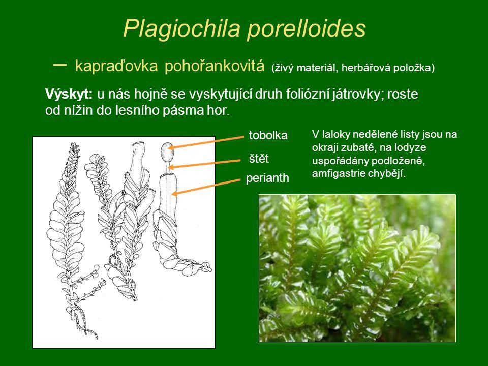 Plagiochila porelloides – kapraďovka pohořankovitá (živý materiál, herbářová položka) perianth štět tobolka Výskyt: u nás hojně se vyskytující druh fo