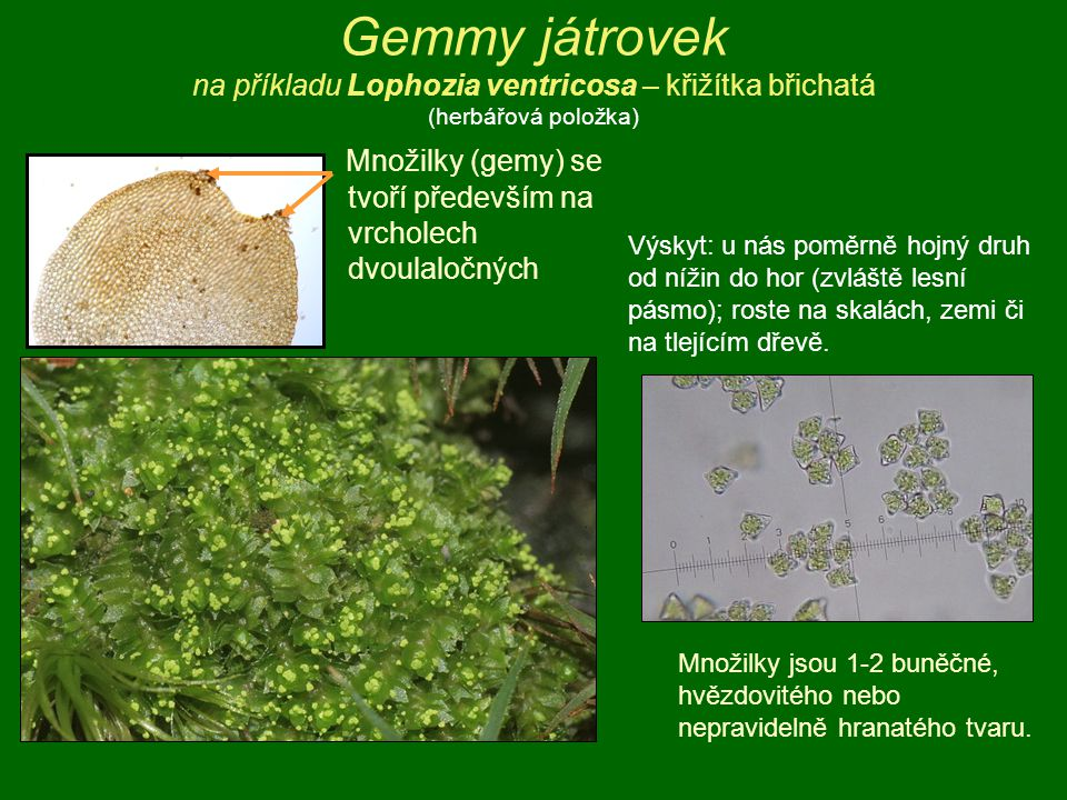Gemmy játrovek na příkladu Lophozia ventricosa – křižítka břichatá (herbářová položka) Množilky (gemy) se tvoří především na vrcholech dvoulaločných M