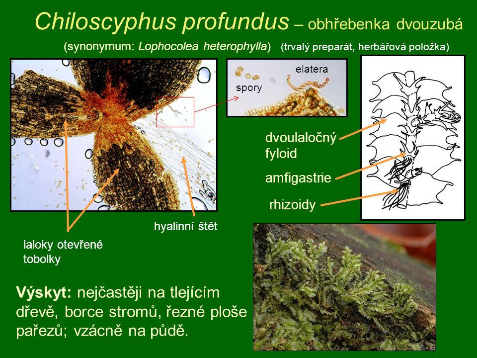 Chiloscyphus profundus – obhřebenka dvouzubá (synonymum: Lophocolea heterophylla) (trvalý preparát, herbářová položka) Výskyt: nejčastěji na tlejícím