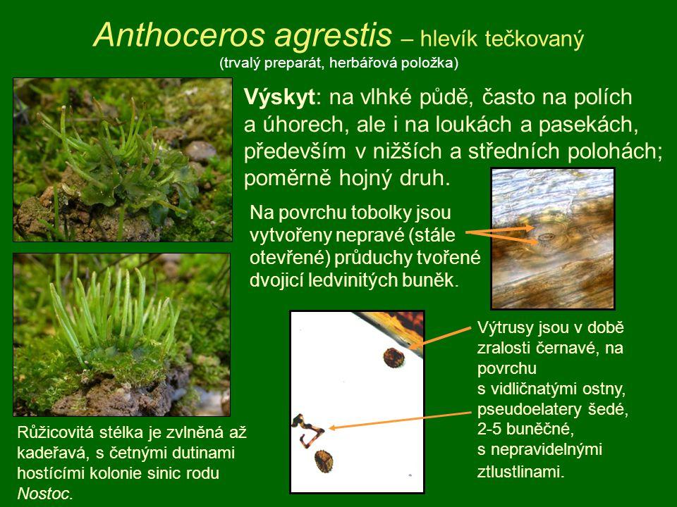 Anthoceros agrestis – hlevík tečkovaný (trvalý preparát, herbářová položka) Výskyt: na vlhké půdě, často na polích a úhorech, ale i na loukách a pasek