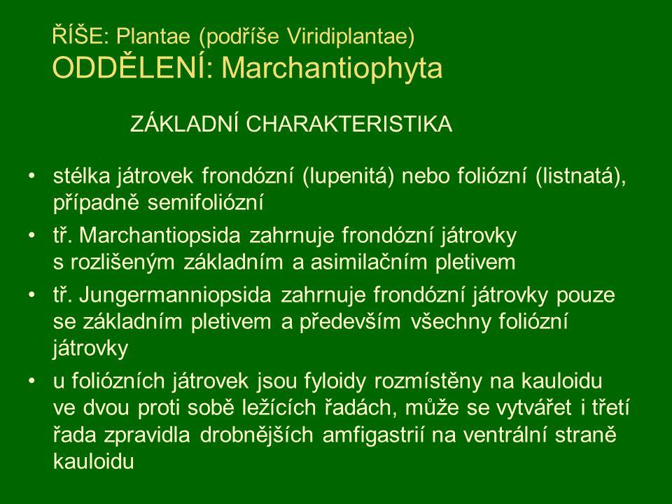 ŘÍŠE: Plantae (podříše Viridiplantae) ODDĚLENÍ: Marchantiophyta stélka játrovek frondózní (lupenitá) nebo foliózní (listnatá), případně semifoliózní t