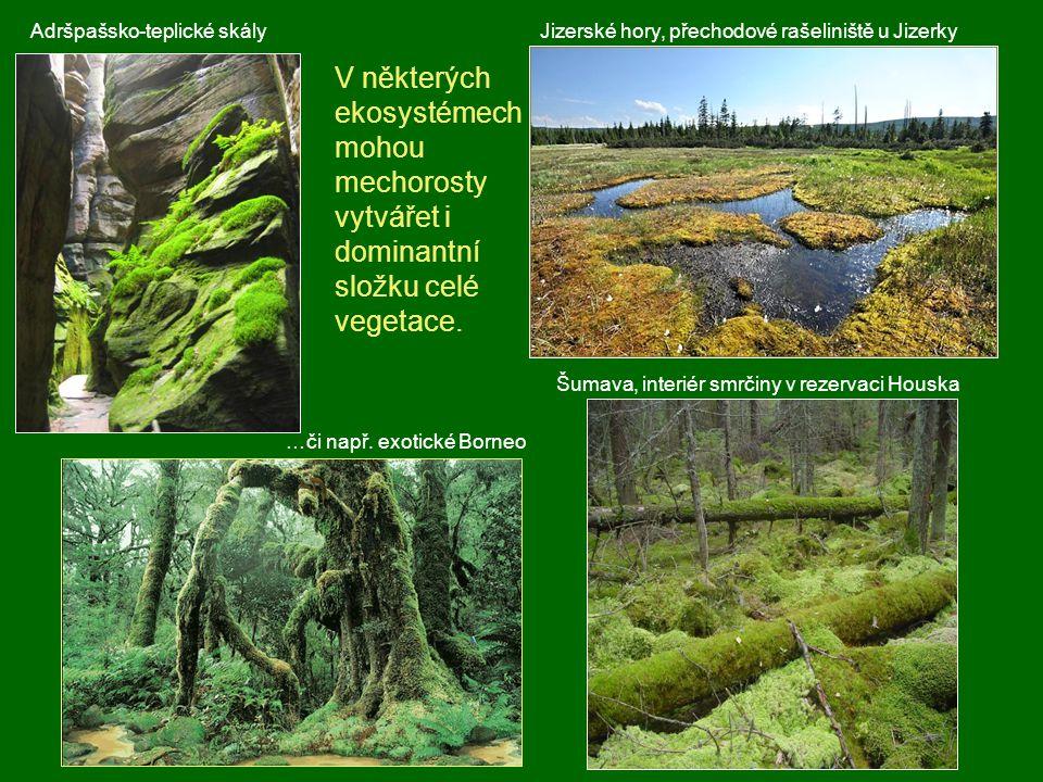 V některých ekosystémech mohou mechorosty vytvářet i dominantní složku celé vegetace. Šumava, interiér smrčiny v rezervaci Houska Jizerské hory, přech