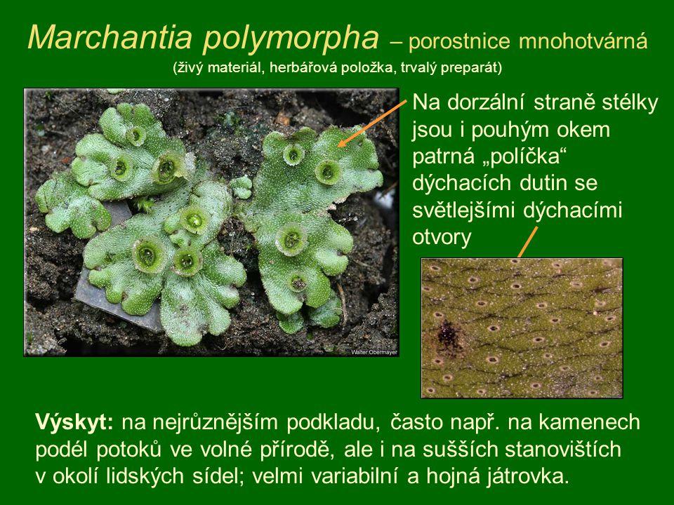 Marchantia polymorpha – porostnice mnohotvárná (živý materiál, herbářová položka, trvalý preparát) Výskyt: na nejrůznějším podkladu, často např. na ka