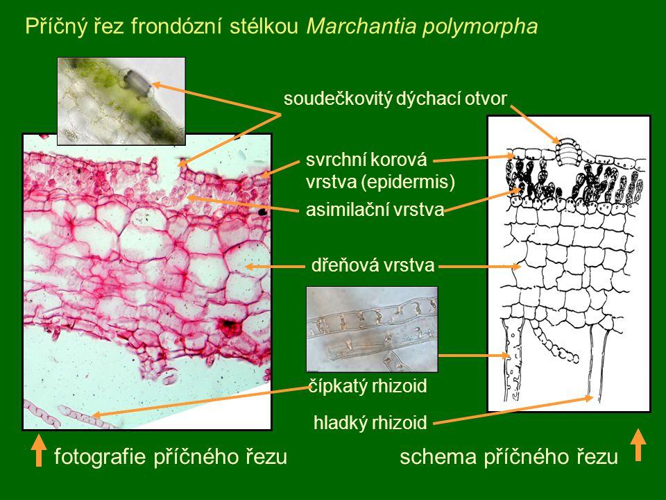 Příčný řez frondózní stélkou Marchantia polymorpha svrchní korová vrstva (epidermis) fotografie příčného řezu schema příčného řezu soudečkovitý dýchac