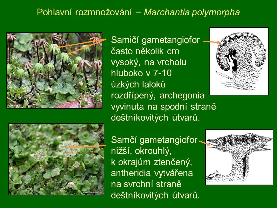 Pohlavní rozmnožování – Marchantia polymorpha Samičí gametangiofor často několik cm vysoký, na vrcholu hluboko v 7-10 úzkých laloků rozdřípený, archeg