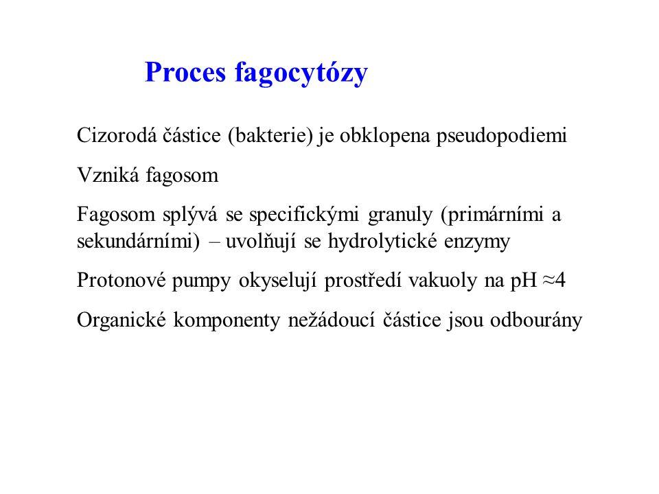 Proces fagocytózy Cizorodá částice (bakterie) je obklopena pseudopodiemi Vzniká fagosom Fagosom splývá se specifickými granuly (primárními a sekundárními) – uvolňují se hydrolytické enzymy Protonové pumpy okyselují prostředí vakuoly na pH ≈4 Organické komponenty nežádoucí částice jsou odbourány