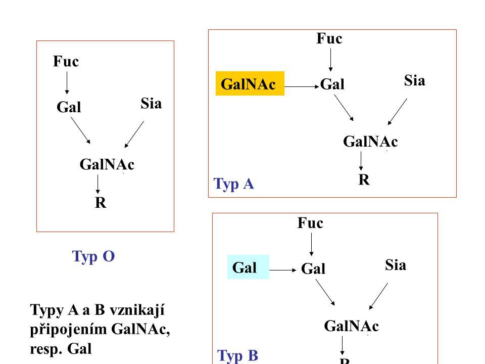 R GalNAc Sia Gal Fuc R GalNAc Sia Gal Fuc R GalNAc Sia Gal Fuc GalNAc Gal Typ O Typ B Typ A Typy A a B vznikají připojením GalNAc, resp.