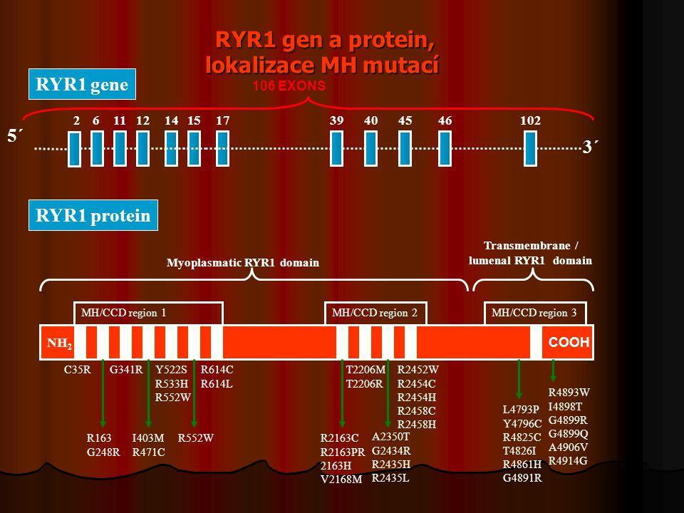 RYR1 gen a protein, lokalizace MH mutací RYR1 gen a protein, lokalizace MH mutací 5´ 2 11 12 14 3´ 6 15 17 39 46 45 40102 106 EXONS RYR1 gene A2350T G