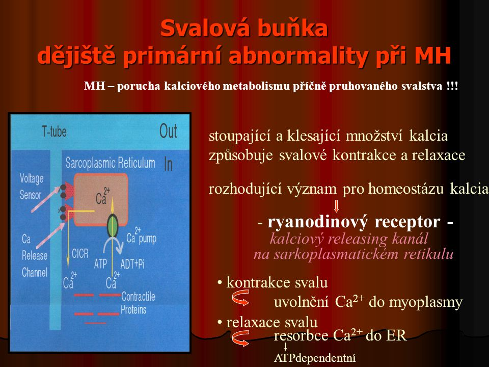 Svalová buňka dějiště primární abnormality při MH stoupající a klesající množství kalcia způsobuje svalové kontrakce a relaxace rozhodující význam pro homeostázu kalcia - ryanodinový receptor - kalciový releasing kanál na sarkoplasmatickém retikulu kontrakce svalu uvolnění Ca 2+ do myoplasmy relaxace svalu resorbce Ca 2+ do ER ATPdependentní MH – porucha kalciového metabolismu příčně pruhovaného svalstva !!!