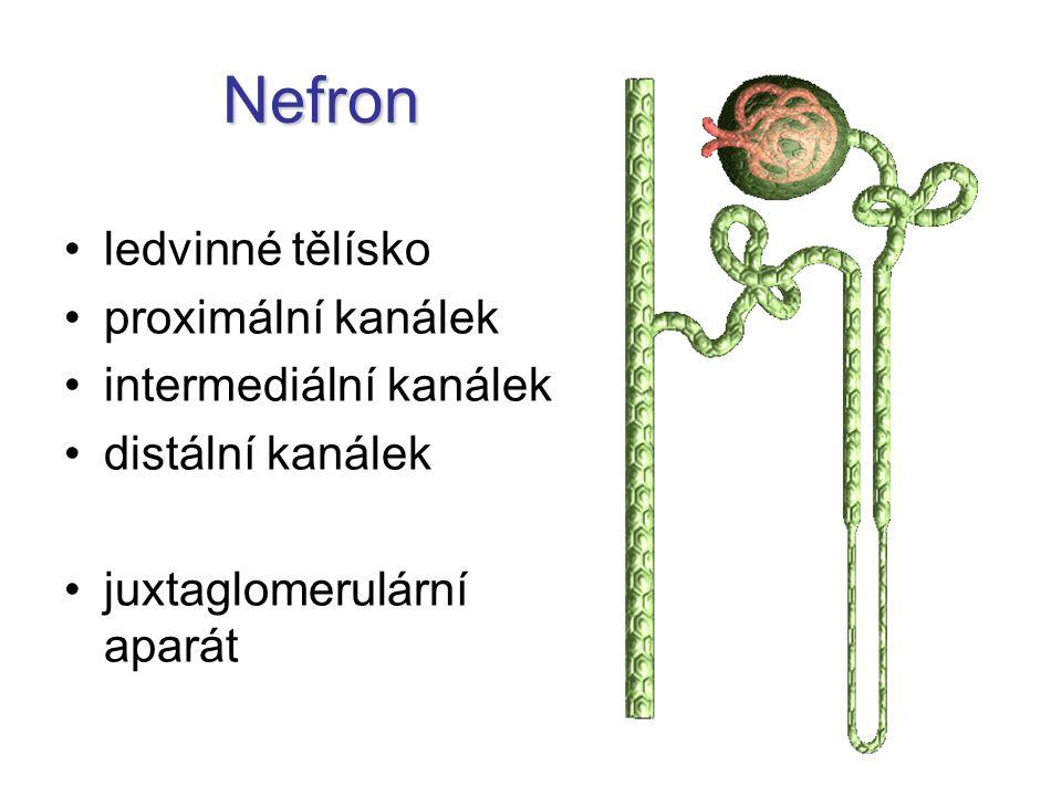 Nefron ledvinné tělísko proximální kanálek intermediální kanálek distální kanálek juxtaglomerulární aparát