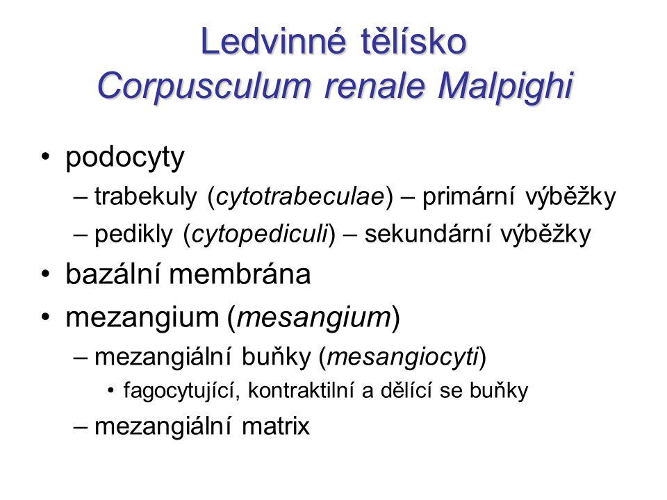 Ledvinné tělísko Corpusculum renale Malpighi podocyty –trabekuly (cytotrabeculae) – primární výběžky –pedikly (cytopediculi) – sekundární výběžky bazá