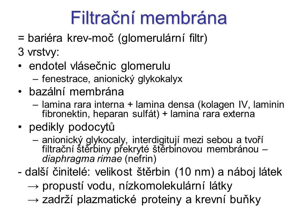 Filtrační membrána = bariéra krev-moč (glomerulární filtr) 3 vrstvy: endotel vlásečnic glomerulu –fenestrace, anionický glykokalyx bazální membrána –l