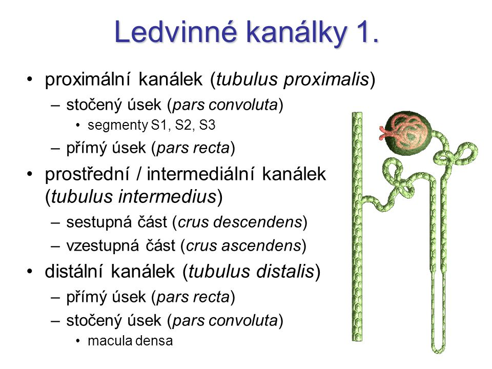 Ledvinné kanálky 1. proximální kanálek (tubulus proximalis) –stočený úsek (pars convoluta) segmenty S1, S2, S3 –přímý úsek (pars recta) prostřední / i