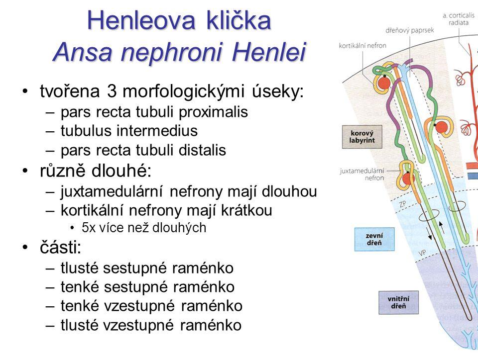 Henleova klička Ansa nephroni Henlei tvořena 3 morfologickými úseky: –pars recta tubuli proximalis –tubulus intermedius –pars recta tubuli distalis rů