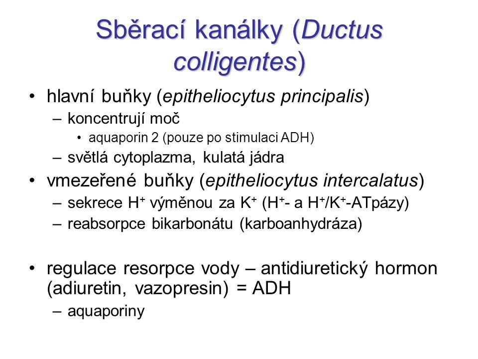 Sběrací kanálky (Ductus colligentes) hlavní buňky (epitheliocytus principalis) –koncentrují moč aquaporin 2 (pouze po stimulaci ADH) –světlá cytoplazm