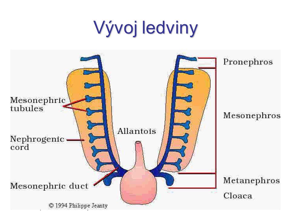 """Vývoj ledviny předledvina = pronephros –nefunkční, """"otevřená"""" prvoledvina = mesonephros –základ pohlavní žlázy konečná ledvina = metanephros http://ww"""