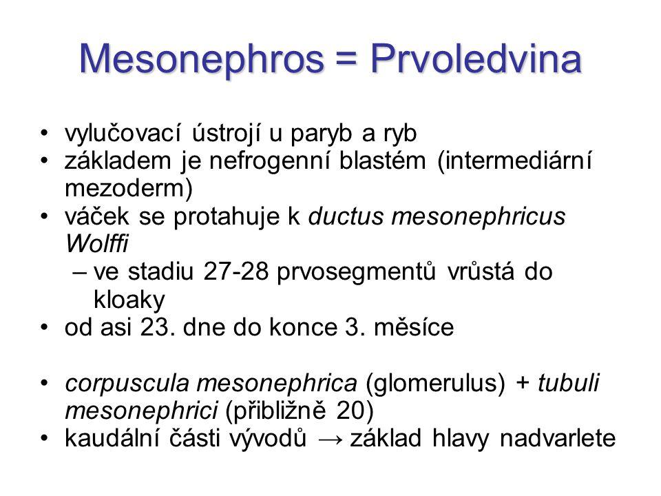 Mesonephros = Prvoledvina vylučovací ústrojí u paryb a ryb základem je nefrogenní blastém (intermediární mezoderm) váček se protahuje k ductus mesonep