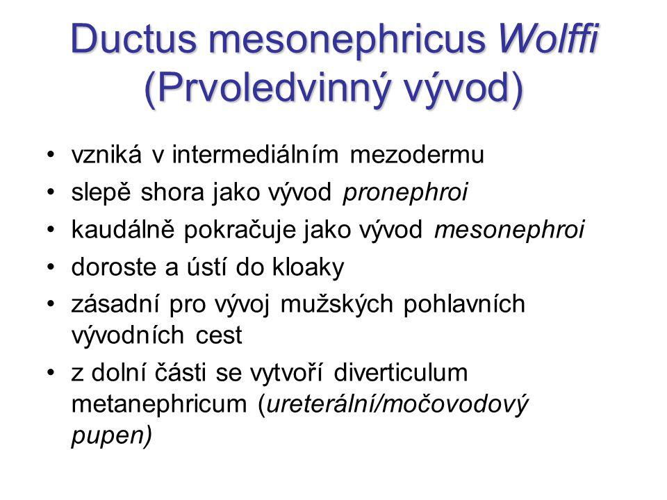 Ductus mesonephricus Wolffi (Prvoledvinný vývod) vzniká v intermediálním mezodermu slepě shora jako vývod pronephroi kaudálně pokračuje jako vývod mes