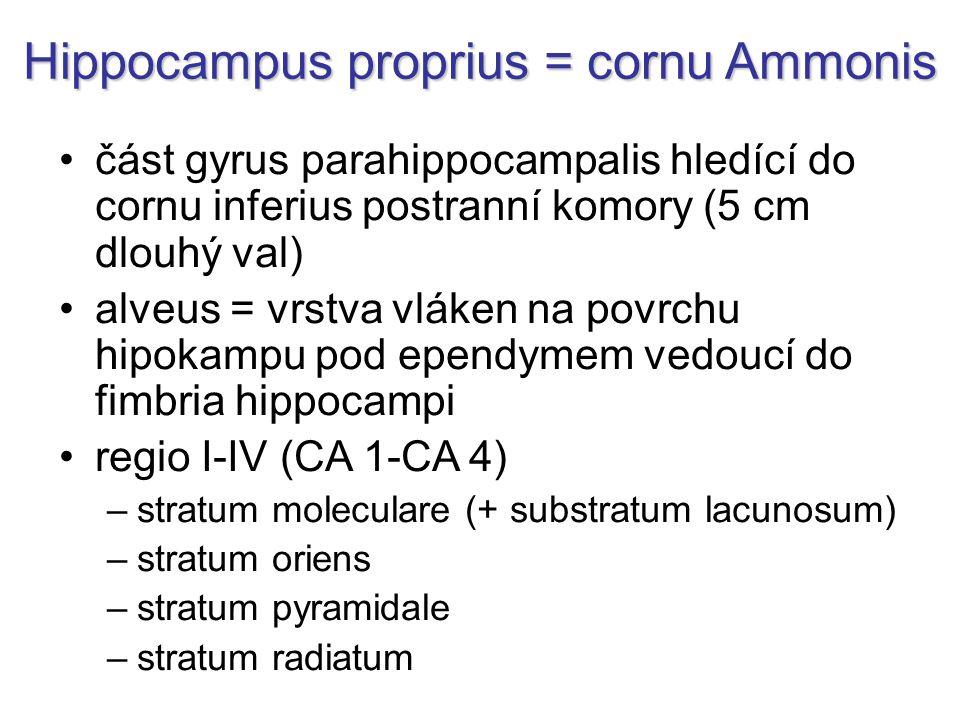 část gyrus parahippocampalis hledící do cornu inferius postranní komory (5 cm dlouhý val) alveus = vrstva vláken na povrchu hipokampu pod ependymem vedoucí do fimbria hippocampi regio I-IV (CA 1-CA 4) –stratum moleculare (+ substratum lacunosum) –stratum oriens –stratum pyramidale –stratum radiatum Hippocampus proprius = cornu Ammonis