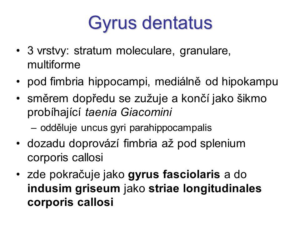 Gyrus dentatus 3 vrstvy: stratum moleculare, granulare, multiforme pod fimbria hippocampi, mediálně od hipokampu směrem dopředu se zužuje a končí jako šikmo probíhající taenia Giacomini –odděluje uncus gyri parahippocampalis dozadu doprovází fimbria až pod splenium corporis callosi zde pokračuje jako gyrus fasciolaris a do indusim griseum jako striae longitudinales corporis callosi